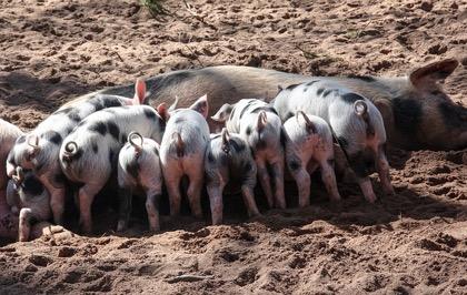 Мираторг обнаружил вирус африканской чумы свиней