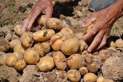 Россия не может обеспечить себя картофелем