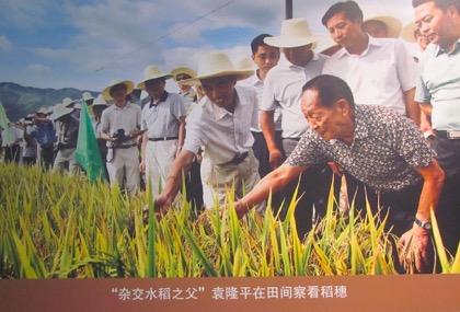 Китай начинает эксперимент по выращиванию риса на солончаках
