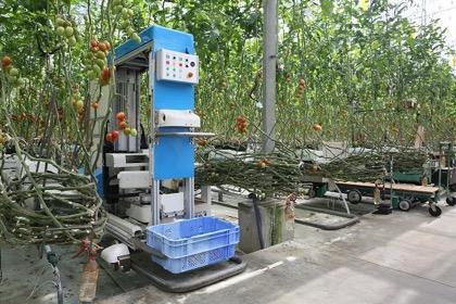 Panasonic испытывает роботов-собирателей томатов на ферме в Японии
