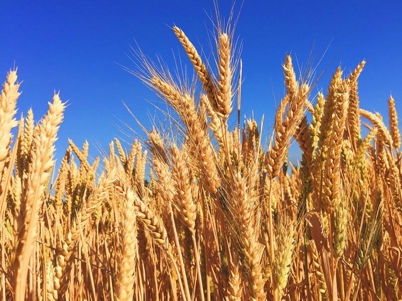 Цены на зерно в России продолжат расти