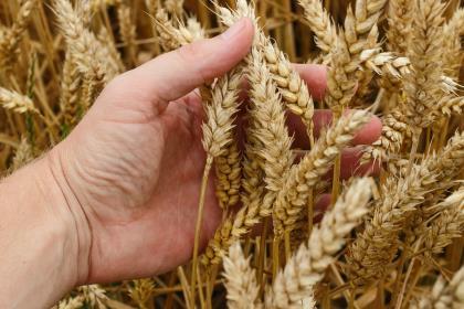 Россия ввела негласные ограничения на экспорт зерна?