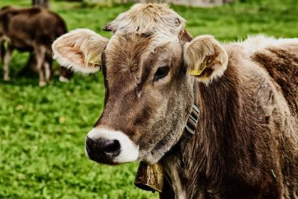 Госдума РФ разрешила следить за коровами через GPS