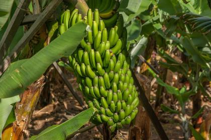 ООН запоздало бьёт тревогу о судьбе мировой торговли бананами